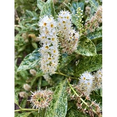 Prunus laurocerasus 'Marbled White' à Gaujacq
