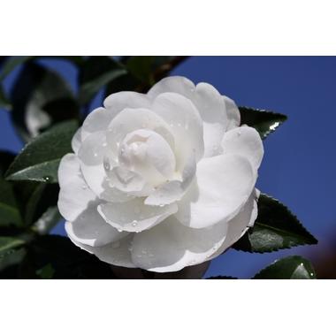 Camellia sasanqua 'Early Pearly' à Gaujacq