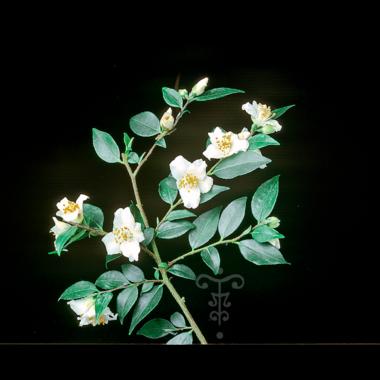 Camellia fraterna à Gaujacq