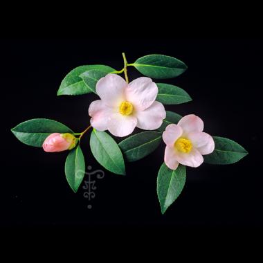 Camellia x 'Charles Michael' à Gaujacq