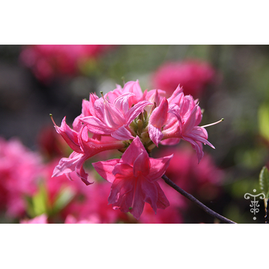 RHODODENDRON_Homebush_Thoby Gaujacq