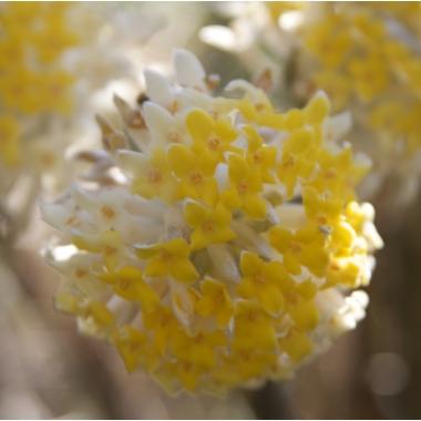 Edgeworthia chrysantha_0453
