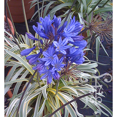 AGAPANTHUS nipponicum GOLD STRIKE_Thoby Gaujacq 1