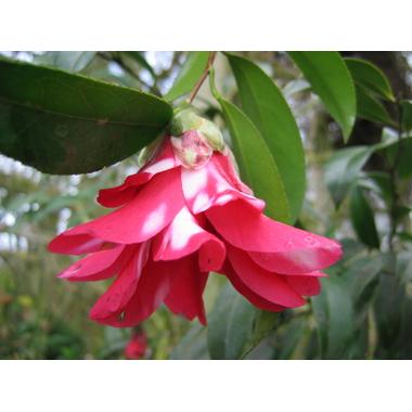 CAMELLIA japonica'Kujaku  Tsubaki'