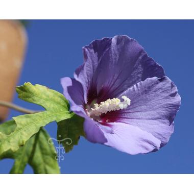 Hibiscus syriacus Ultramarine - Thoby Gaujacq 1