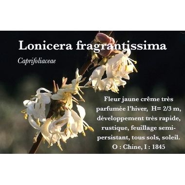 Lonicera fragrantissima -description