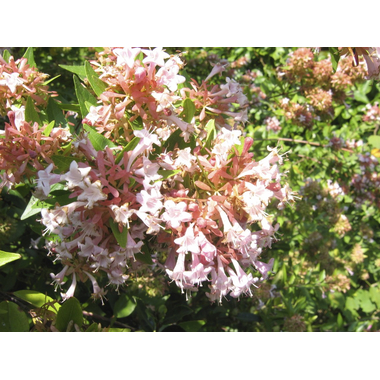Abelia zanderi -Thoby Gaujacq 1