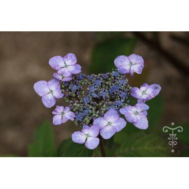 HYDRANGEA macrophylla 'Vehuiah' Thoby Gaujacq