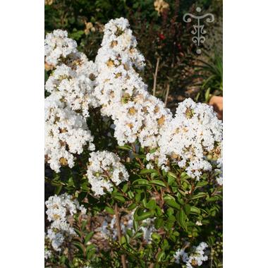 lagerstroemia ivano blanca- Thoby Gaujacq