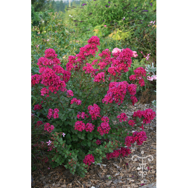 lagerstroemia ivano rosso- Thoby Gaujacq