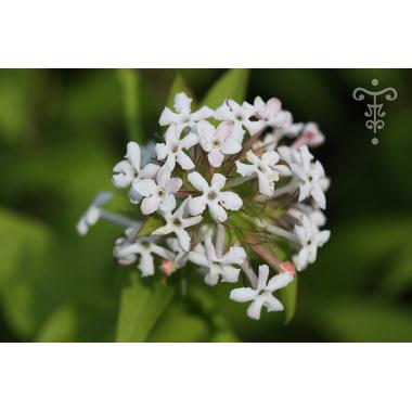 ABELIA triflora (15)