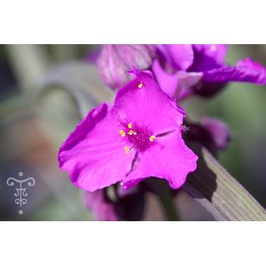 Tradescantia x andorsoniana 'Concord Grapes'- Thoby Gaujacq