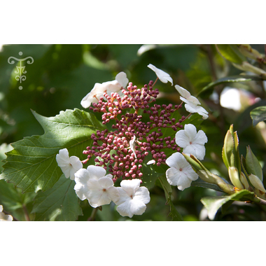 Viburnum sargentii 'Onondaga' - Thoby Gaujacq