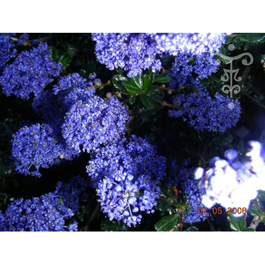 Ceanothus Blue Sapphire - Thoby Gaujacq
