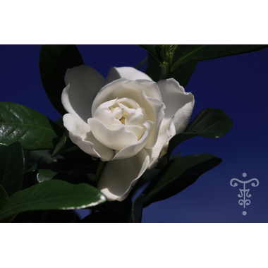 GARDENIA angustata 'Cronw Jewel'- Thoby Gaujacq