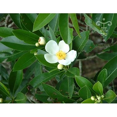 GORDONIA lasianthus - Thoby Gaujacq