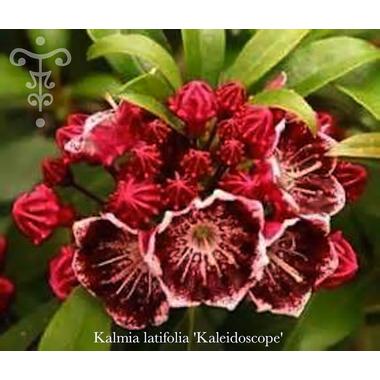 Kalmia latifolia 'Kaleidoscope