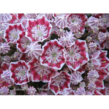 Kalmia latifolia Minuet-Thoby Plantarium
