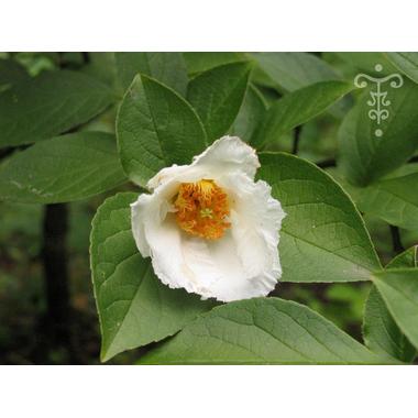 Stewartia pseudocamellia - Thoby Gaujacq