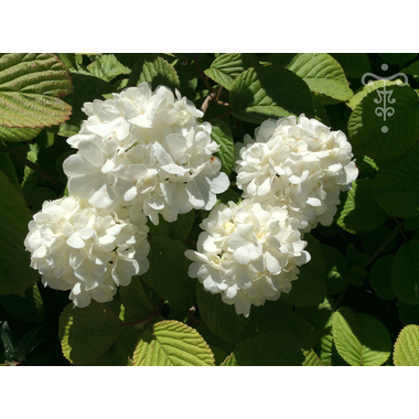 Viburnum plicatum 'Popcorn' Thoby Gaujacq