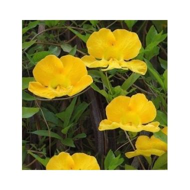 Bignonia unguis cati - Thoby Gaujacq