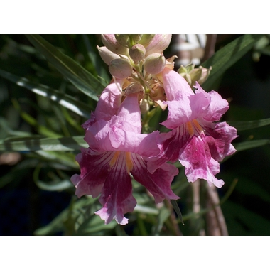 Chilopsis_linearis2