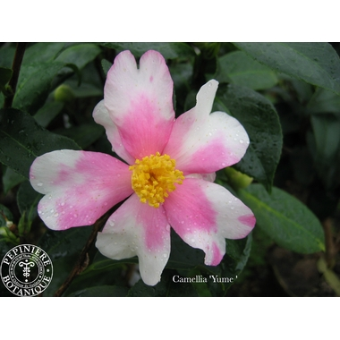 Camellia Yume-1518 thoby Gaujacq