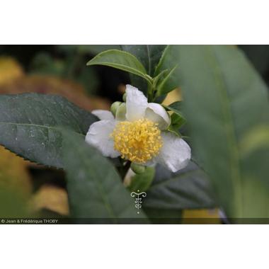 camellia_sinensis-1
