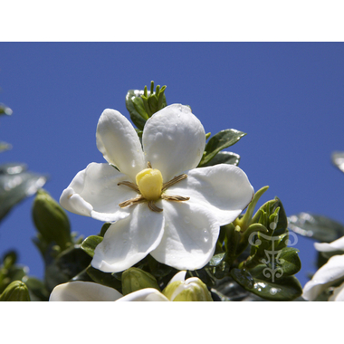 Gardenia Kleims Hardy-2
