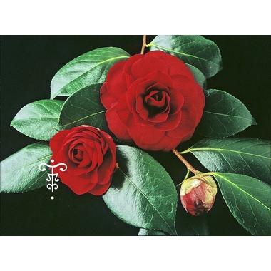 Camellia Mathotiana Rubra