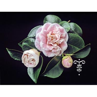 Camellia Cormerais Bahuaud