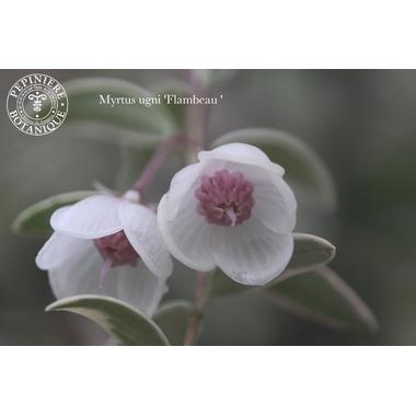 Myrtus Flambeau