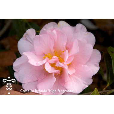 Camellia High Fragrance