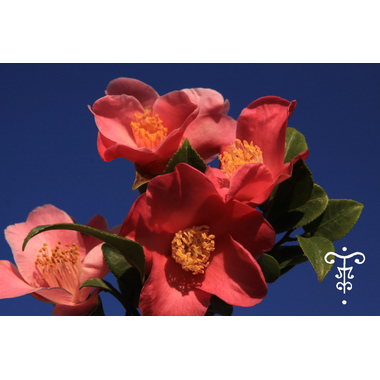 Camellia Minato no akebono