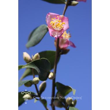 Camellia cuspidata 'Nam de Gaujacq' 2