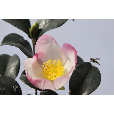 Camellia Versicolor
