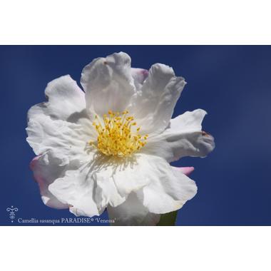 Camellia sasanqua Venessa