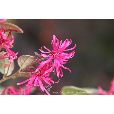Loropetalum Plum Georgeous