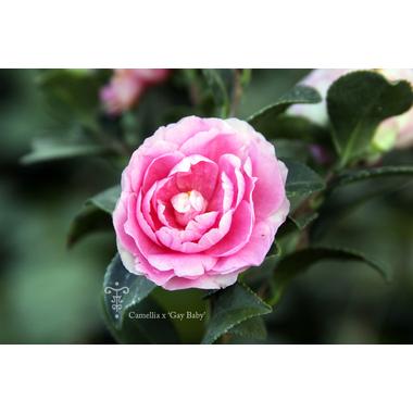 Camellia Gay Baby