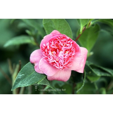Camellia Tiny Bell