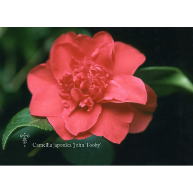 Camellia japonica 'john tooby'-5