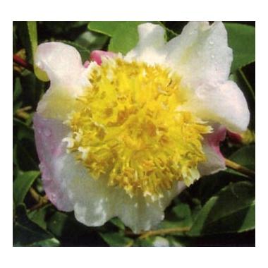camellia-francois-gagnepain-0042197001391191557-0569984001391288843