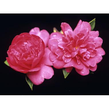 Camellia sasanqua paradise 'Caroline' (1650)