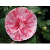 Camellia japonica 'Stacy Susan'