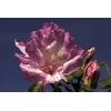 Rhododendron azalea 'Rosa Belton'