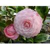 Camellia japonica 'Kerguelen'®
