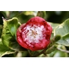 Camellia japonica 'Kumagaï de Gaujacq'