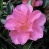 Camellia sasanqua h. 'Shishi-gashira'