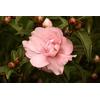 Camellia sasanqua PARADISE® 'Petite'