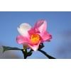 Camellia x 'Yume'